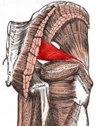 Gray's Anatomy Piriformis